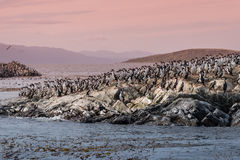 Colony of king cormorants Beagle Channel, Patagonia. Summer Stock Photography