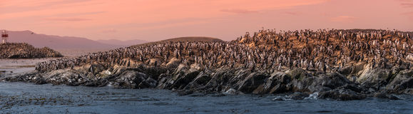 Colony of king cormorants Beagle Channel, Patagonia. Summer Royalty Free Stock Image
