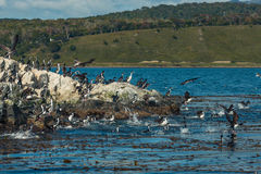 Colony of king cormorants Beagle Channel, Patagonia Stock Photography