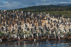 Colony of king cormorants Beagle Channel, Patagonia. Summer Royalty Free Stock Photos