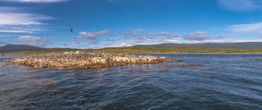 Colony of king cormorants Beagle Channel, Patagonia. Summer Royalty Free Stock Images