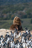 Colony of king cormorants and sea lion, Beagle Channel, Patagoni Stock Photography