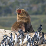 Colony of king cormorants and sea lion, Beagle Channel, Patagoni. Colony of king cormorants and sea lion, Patagonia Stock Images