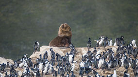 Colony of king cormorants and sea lion, Beagle Channel, Patagoni. Colony of king cormorants and sea lion, Patagonia Stock Photography