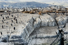 Colony of King Cormorants and Sea Lions, Beagle Channel Royalty Free Stock Photos