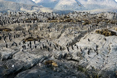 Colony of King Cormorants and Sea Lions on Ilha dos Passaros loc Stock Image