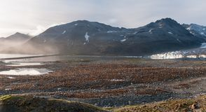 Colony of King Penguin chicks in front of Cook Glacier, St Andrews Bay, South Georgia royalty free stock images
