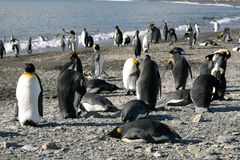 Colony of King Penguin in South Georgia Stock Images