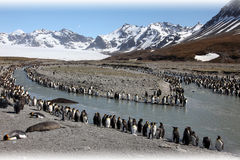 Colony of king penguins. King penguins at South Georgia (Subantarctic island Stock Images