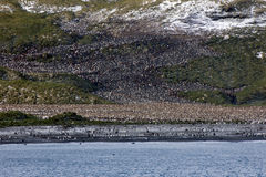 Colony of king penguins. In the sun of South Georgia Royalty Free Stock Photo