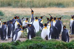 A colony of King Penguins, Aptenodytes patagonicus, resting in the grass at Parque Pinguino Rey, Tierra del Fuego Patagonia Royalty Free Stock Image