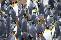 Colony Of King Penguins In Bluff Cove Royalty Free Stock Photos