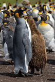 Colony of King Penguins with a chick Stock Image