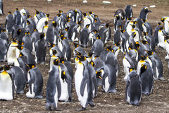 Colony of King Penguins - Falkland Islands Royalty Free Stock Photo