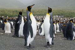 Colony of King Penguins Royalty Free Stock Images