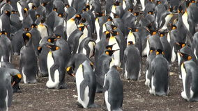 Colony Of King Penguins Royalty Free Stock Photography