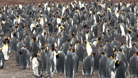 Colony Of King Penguins stock video