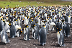 Colony king penguins Royalty Free Stock Photography