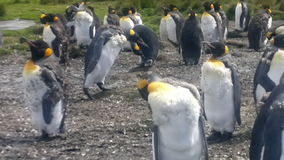Colony of King Penguins at Volunteer Point stock video footage