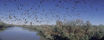 Colony of Little red flying fox bats Royalty Free Stock Images