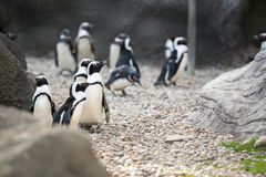 Colony of Magellan Penguins Royalty Free Stock Photo