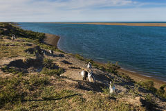 Colony of Magellanic penguin in the Valdes Peninsula in Argentin royalty free stock image