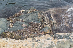 Colony of marine molluscs. On the rocks in the sea Stock Image