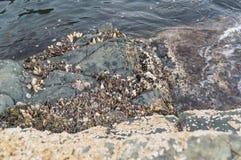Colony of marine molluscs Stock Image