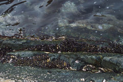 Colony of marine molluscs. On the rocks in the sea Royalty Free Stock Photography