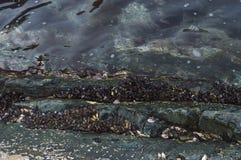 Colony of marine molluscs Royalty Free Stock Photography