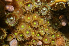 Colony of mat zoanthids Zoanthus pulchellus Royalty Free Stock Photo