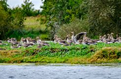 Migratory Greylag geese seen resting on a small island within a large nature reserve. The colony of migratory geese, some of which can be seen resting after Stock Images