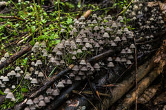 A colony of mushrooms growing on an old tree stump covered with moss Royalty Free Stock Photography