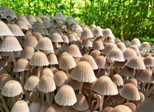 A colony of mushrooms toadstools. Stock Images