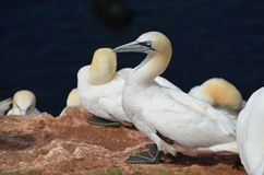 Colony of the Northern Gannet (Morus bassanus) Stock Image