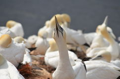 Colony of the Northern Gannet (Morus bassanus) Royalty Free Stock Photo