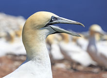 Colony of Northern Gannets, Bonaventure Island Quebec Royalty Free Stock Photos