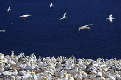 Colony of Northern Gannets, Bonaventure Island, Quebec Royalty Free Stock Photos
