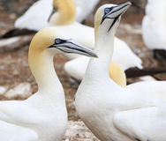 Colony of Northern Gannets, Bonaventure Island Quebec Stock Image