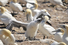 Colony of Northern Gannets Royalty Free Stock Photos