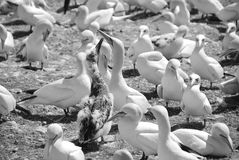 Colony of Northern Gannets Stock Photos