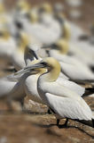 Colony of Northern Gannets Stock Photo