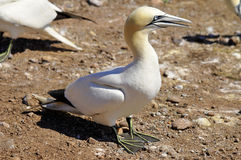 Colony of Northern Gannets Royalty Free Stock Photography