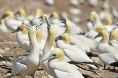 Colony of Northern Gannets Royalty Free Stock Photo