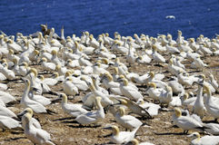 Colony of Northern Gannets Royalty Free Stock Images
