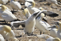 Colony of Northern Gannets Stock Images