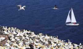 Colony of Northern Gannets and yacht sailing near Bonaventure Island in Quebec Royalty Free Stock Images
