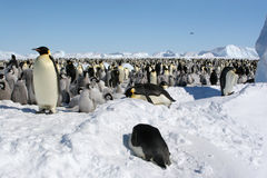 Free Colony Of Emperor Penguins Stock Images - 7763904