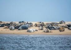 Colony Of Harbor Seals Stock Photos