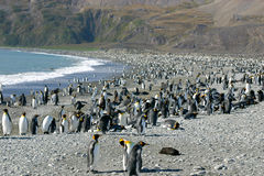 Colony Of King Penguin In South Georgia Royalty Free Stock Images
